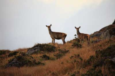Red Deer in Killarney