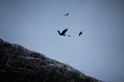 Eagles being mobbed by crows