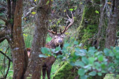 Deer in Kerry