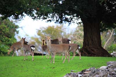Sika Deer in Killarney