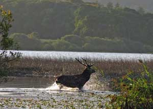 Red Deer in the Lower Lake Killarney