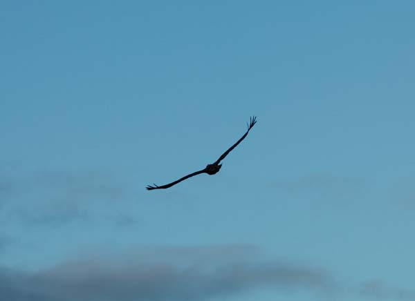 Eagle soars over killarney