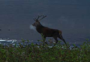 Red Deer Stag by the Lake Hotel