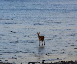 Killarney Deer