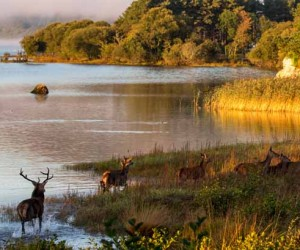 Native red Deer by the Lake Hotel in Killarney