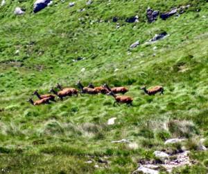 Red Mountain Deer Killarney