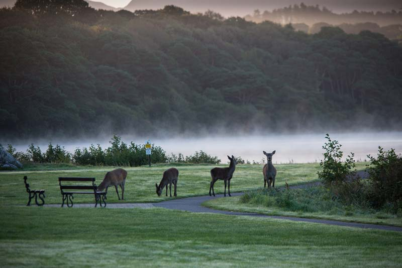 Red Deer in Killarney by the Lake Hotel