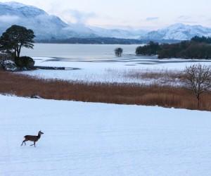 Red Deer in Snow, Killarney