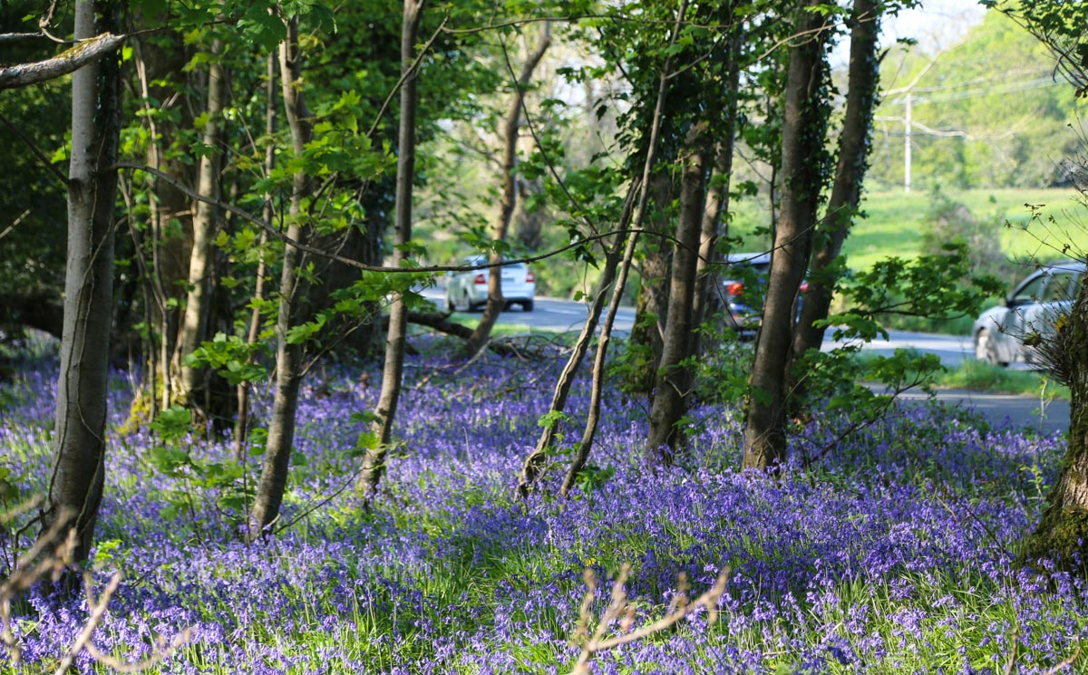 Bluebells in Killarney