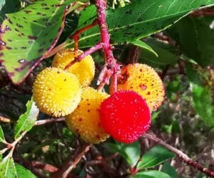 Arbutus in Killarney