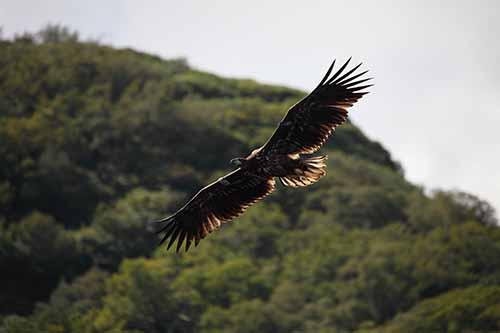 eagle-killarney