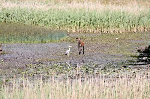 herron-deer